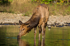 Elk Getting Buzzed By Dragonflies (b88harris) Tags: cow elk drinking stream benezette park creek brown fur nature wildlife wild dragonfly sunlight sunshine light nikon d7200 300mm nikkor lens ngc coth5