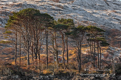 Assynt Pines (Shuggie!!) Tags: afternoonlight assynt hdr highlands landscape pine rocks scotland snow trees winter zenfolio karl williams karlwilliams