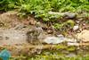 Common Redstart (Phoenicurus phoenicurus) Paprastoji raudonuodegė
