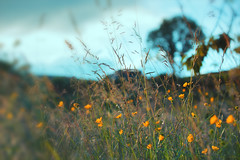Wild Flowers (Lux Obscura) Tags: wild yellow flowers june tree sky chaff grass blur dreamy processed nature orchard vibratonalism