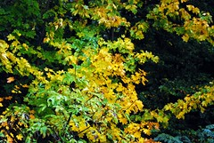 #AutumnLeaves (FrauN.ausD.) Tags: flickrfriday autumnleaves bltter herbst leaves fall gelb grn yellow green baum natur outdoor tree nature