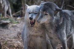 A Case of the Mondays... wolf-edition (JeffMoreau) Tags: wolf sanctuary lititz pennsylvania frodo levi monday mondays grey silver white wolves wildlife snarl
