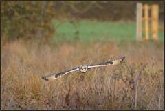 Short-eared Owl (image 3 of 4) (Full Moon Images) Tags: rspb fen drayton lakes wildlife nature reserve cambridgeshire bird prey birdofprey flight flying shorteared owl short eared seo