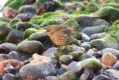 Rock Pipit (2) (ekaterina alexander) Tags: rock pipit wild small bird grey brown coast shore pebbles ekaterina england alexander sussex autumn nature photography pictures