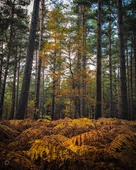 Turning Colours (Augmented Reality Images (Getty Contributor)) Tags: autumn bracken canon fall ferns focusstack forest landscape leaves longexposure morayshire nature pine scotland trees