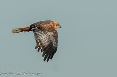 Marsh Harrier - Male (Circus aeruginosus) (hunt.keith27) Tags: harrier marsh somerset levels marshharrier raptor hunting feather beak wing