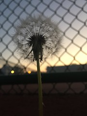 Windy forecast, plant seeds (artseejodee) Tags: iphone dandelion seeds sunset dusk fence iphone6