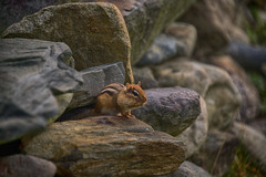 160924_057-2 Curious Brat (MiFleur...Thanks for visiting!) Tags: suisse tamia chipmunk animal rocks roches pierres