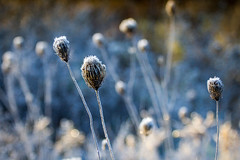 frozen shut (Christian Collins) Tags: lace frost november cold frio noviembre canon t2i ef70200mmf4lusm frosty weed