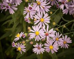 Asters (hickamorehackamore) Tags: 2016 cornelllabofornithology ithaca ny nystate newyork newyorkstate sapsuckerpond september asters nativewildflower
