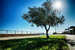 A la sombra del olivo (candi...) Tags: olivo sol contraluz sombra arbol cesped calle baranda cielo sonya77 ramas airelibre tronco