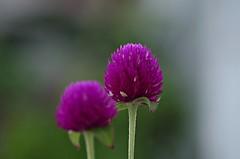 Moradas (portalealba) Tags: flores almijara cmpeta axarqua mlaga andaluca espaa spain portalealba pentax pentaxk50 1001nights 1001nightsmagiccity