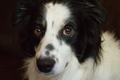 Flash (runeurope) Tags: australian sheperd australiansheperd australiansheperdblackwhite hund pet tier male rüde
