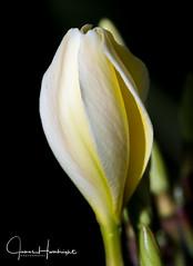 Birth of Plumeria (jhambright52) Tags: plumeria whiteplumeria macroflowers macro whiteplumeriablossom cffaa