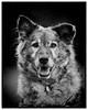'Teddy' (Jonathan Casey) Tags: portrait rspca big walkies 2016 earlham park nikon d810 200mm f2 vr