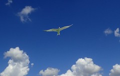 Checking out the beach (jmaxtours) Tags: florida usa floridausa gull soaring checkingoutthebeach sky