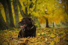 Park Life (joolst14) Tags: labarador park dog dof hexham tynegreen pet