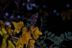 Red Admiral Butterfly (Vanessa gonerilla gonerilla) and Kowhai (Sophora microphylla) (Nga Manu Images NZ) Tags: fscientificnames feeding flowering insects kowhai plantsandfungi redadmiralbutterfly sophoramicrophylla trees vanessagonerillagonerilla