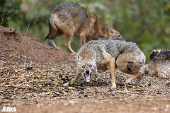 aggressive golden jackals, Goldschakal, Canis aureus syriacus @ Tel Aviv, Israel 2016, November, urban nature (Jan Rillich) Tags: jan rillich janrillich picture photo photography foto fotografie eos digital wildlife animal nature beautiful beauty sunny sun fauna flora free animalphotography image israel guest 2016 november fall winter canon 5dmarkiii 5dmark3 canon300mm goldschakal canis aureus syriacus yarkon park telaviv urban ramatgan pup offspring young welpe canisaureussyriacus living life tier family familie pack morning morgen fight kampf drohung threaten threatdisplay aggression aggressive encounter opponent gegner dominance frighten