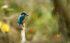 Kingfisher bokeh (petegatehouse) Tags: bird riverbird water perched kingfisher bokeh blur autumn colourfulbird patienthunter waiting