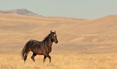 Innocence (chad.hanson) Tags: wildlife wyoming mustangs wildhorses stewartcreekhma