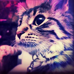 Meow (_HMC_) Tags: cat chat cats chats kitties kitty kittys kittie purple pink red blue cyan edit phone apple iphone srtipes tabby cell cellular mobile cellphone magenta rose violet bleu cute pretty bae meow yellow jaune beige chair chaise belle bell bel beau joli jolie mignon mignone