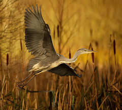 Grey Heron (forbesimages) Tags: grey heron fife scotland canon reeds loch water wild wildlife nature flight flying
