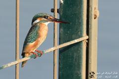 Common Kingfisher @ Khor Kalba, Sharjah, UAE (Ma3eN) Tags: common kingfisher bird khorkalba sharjah uae 2016