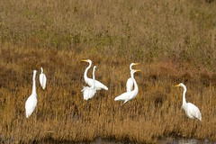 7K8A3999 (rpealit) Tags: scenery wildlife nature chincoteaque national refuge great egrets bird egret