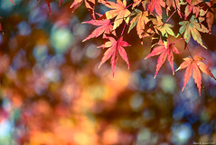 / autumn colors (March Hare1145) Tags:  autumn  maple tree  color japan