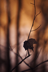end of autumn 2016 (furrycelt) Tags: carync hemlockbluffsnaturepreserve hemlockbluffs nikon85mmf14afd nikon85mmf14 northcarolina ianwilson jianwilson photographersontumblr 2016 665nm 85mm cary nc november bokeh branches furrycelt infrared ir leaf lensblr natural nature trees twig winter woods
