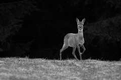 Roe Deer (Norbert Krlik) Tags: bw deer roe canonef300mmf4lisusm canonefextender14xii canoneos40d