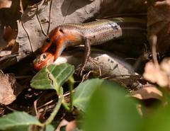 fighting skinks (lanaganpm) Tags: reptilesamphibians