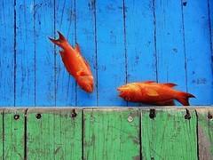 rgb (f i  a s) Tags: blue red fish color male green night island boat fishing flickr colours capital reef maldives rgb grouper atoll dhoni firas uniquemaldives firax sonydsctx5