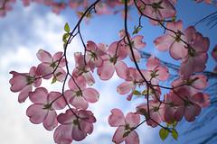 rouge (Lisa Ouellette) Tags: pink spring flora blossom bluesky lookingup sacramento dogwood cornusflorida explored springbuds