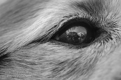 Black pool (Russ Beinder) Tags: bw dog macro reflection eye closeup goldenretriever blackwhite micro lincoln doggy 0mmf0