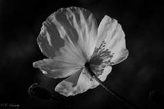 Contrast (CecilieSonstebyPhotography) Tags: flowers shadow blackandwhite bw flower macro oslo closeup canon ngc botanicalgarden botaniskhage ef100mm macro100mm canon60d canoneos60d