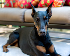 Britta (mountainjoe) Tags: dobermann