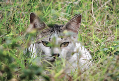 sneaking around... (esavitri) Tags: pet cat kitten kucing binatangpeliharaan