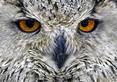 She's got Bette Davis eyes (Sr. Fernandez) Tags: look animal fauna canon eos eyes beak feathers ojos pico owl 5d mirada faunia mkii plumas buho lechuza 5dmarkii buhorealsiberiano siberiantigerowl