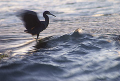 Sail On Sailor (Tobago_Pictures) Tags: blur nature birds outdoors movement wildlife environment caribbean oceans trinidadtobago seas herons coasts caerulea littleblueheron egretta
