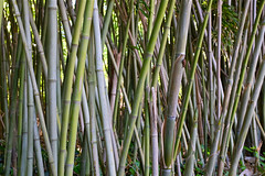 Bamboozled (Mondmann) Tags: plants usa america zoo washingtondc smithsonian unitedstates landscaping bamboo vegetation nationalzoo mondmann fujifilmx100s