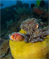 Clownfish and his House (jos.pannekoek) Tags: canon underwater powershot bohol phillipines s100 inon