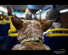 Canine Commuter (esslingerphoto.com) Tags: uk greatbritain england dog bus london home photography eos evening photo europe exposure ride shot great single transit commuter 5d australiancattledog britian acd mkii esslinger esslingerphotocom esslingerphoto