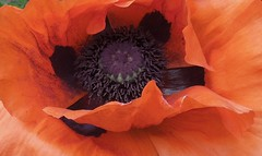 Orange Oriental Poppy (bjebie) Tags: ohio orange flower spring poppy bloom springtime blooming orientalpoppy