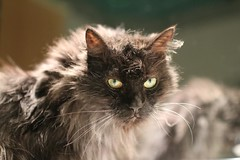 Bientt 17 ans ... (Luckyquebec) Tags: old cat chat fluffy yeux vieux regard cc100