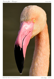 Camargue - Flamants rose | Phoenicopterus roseus | Greater Flamingo
