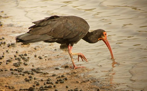 Sharp-tailed Ibis