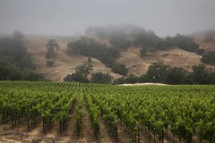 Cloudy Summer Day in Wine Country #10 (Tom Moyer Photography) Tags: california clouds vineyard vines sonomacounty winecountry