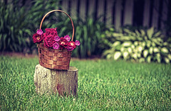 flowers on stump (krismadden) Tags: flowers red roses white plant flower tree grass yard fence garden dead wooden spring bush basket stump woven picket dea